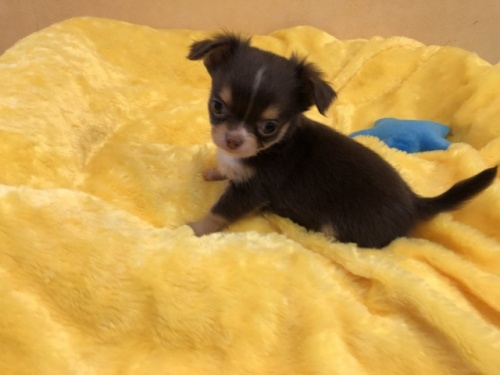 チワワ(ロング)の子犬(ID:1241311258)の3枚目の写真/更新日:2017-11-07