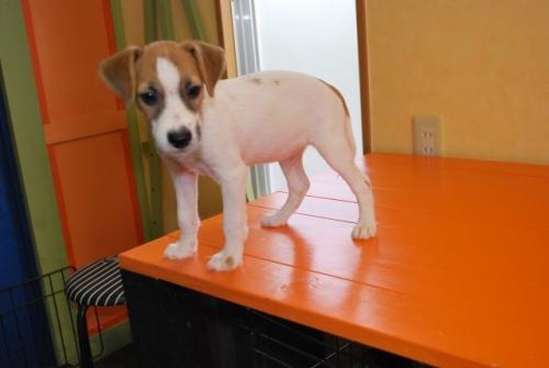 ミックスの子犬(ID:1241311259)の3枚目の写真/更新日:2017-07-10