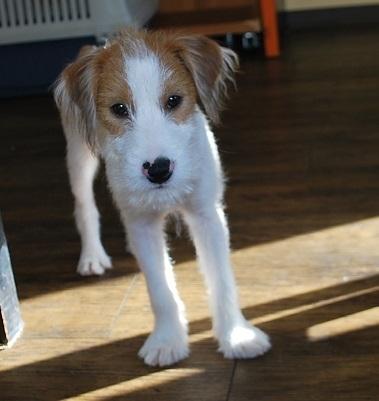 ミックスの子犬(ID:1241311261)の1枚目の写真/更新日:2017-10-15