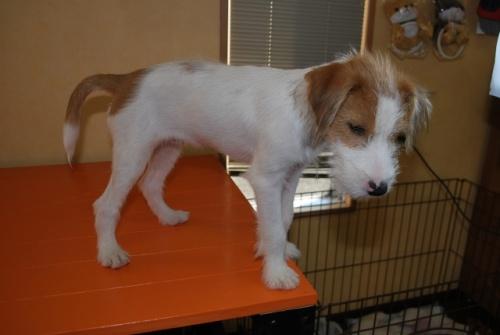 ミックスの子犬(ID:1241311261)の2枚目の写真/更新日:2017-08-08