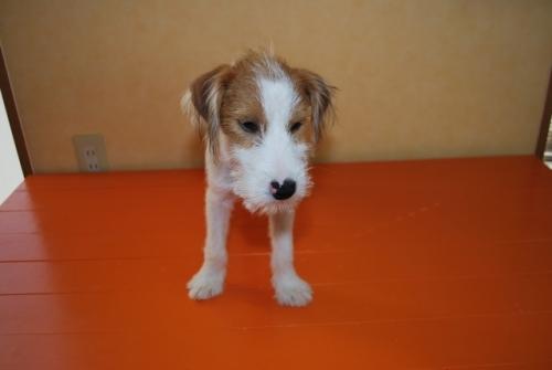 ミックスの子犬(ID:1241311261)の3枚目の写真/更新日:2017-10-15