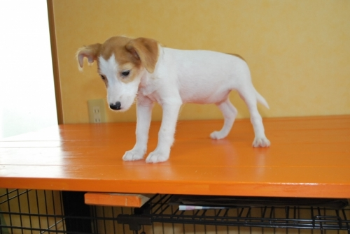 ミックスの子犬(ID:1241311262)の3枚目の写真/更新日:2017-07-10