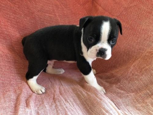ボストンテリアの子犬(ID:1241311263)の2枚目の写真/更新日:2017-07-17