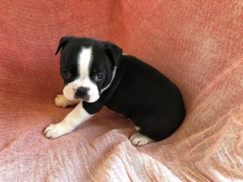 ボストンテリアの子犬(ID:1241311263)の3枚目の写真/更新日:2017-07-17