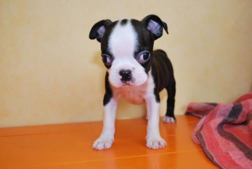 ボストンテリアの子犬(ID:1241311264)の1枚目の写真/更新日:2017-07-17