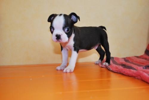 ボストンテリアの子犬(ID:1241311264)の2枚目の写真/更新日:2017-07-17