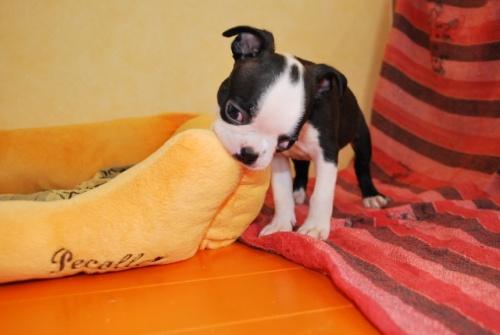 ボストンテリアの子犬(ID:1241311264)の3枚目の写真/更新日:2017-07-17
