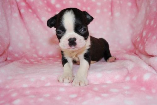 ボストンテリアの子犬(ID:1241311265)の1枚目の写真/更新日:2017-07-17