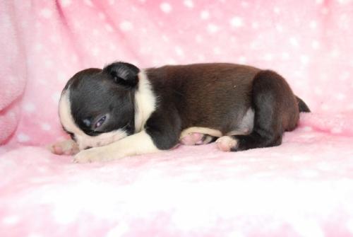 ボストンテリアの子犬(ID:1241311265)の2枚目の写真/更新日:2017-07-17