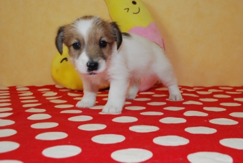 ジャックラッセルテリアの子犬(ID:1241311266)の1枚目の写真/更新日:2017-07-31