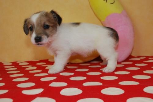 ジャックラッセルテリアの子犬(ID:1241311266)の2枚目の写真/更新日:2017-07-31