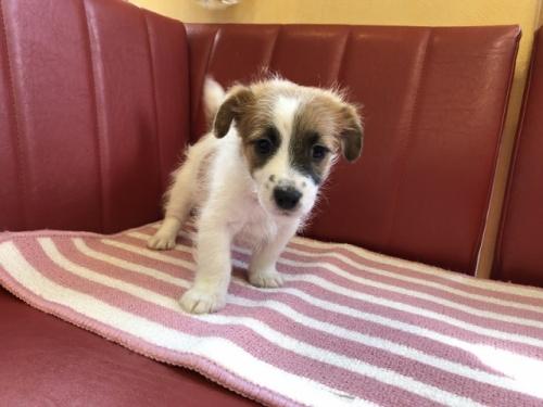 ジャックラッセルテリアの子犬(ID:1241311268)の1枚目の写真/更新日:2017-07-31