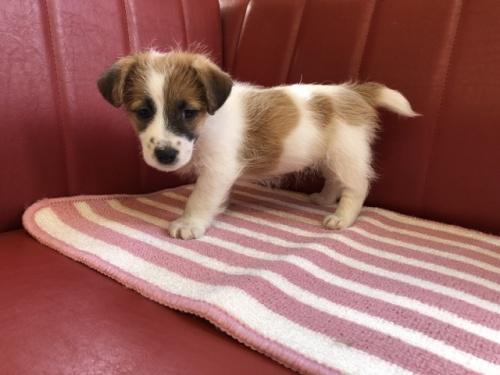 ジャックラッセルテリアの子犬(ID:1241311268)の2枚目の写真/更新日:2017-10-15