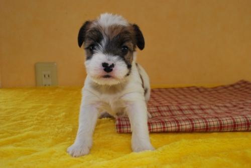 ジャックラッセルテリアの子犬(ID:1241311269)の1枚目の写真/更新日:2019-04-21