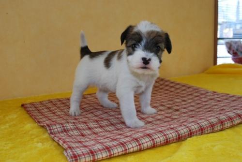 ジャックラッセルテリアの子犬(ID:1241311269)の2枚目の写真/更新日:2017-07-31