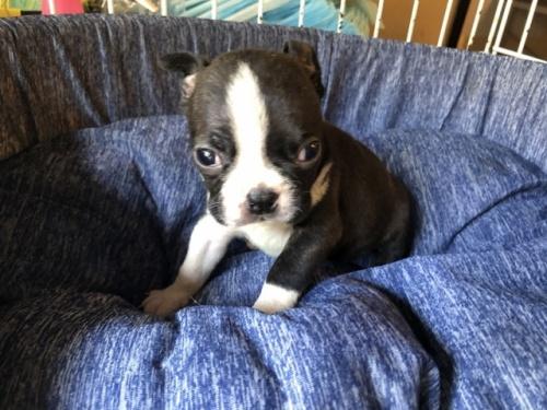 ボストンテリアの子犬(ID:1241311272)の1枚目の写真/更新日:2017-08-05