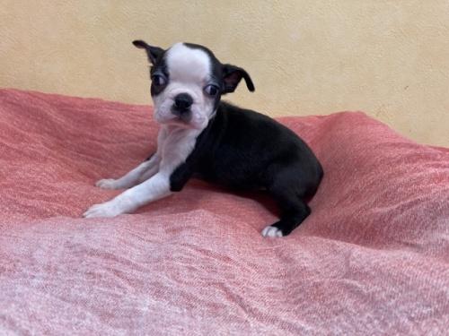 ボストンテリアの子犬(ID:1241311273)の3枚目の写真/更新日:2017-08-05