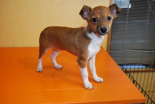 ミックスの子犬(ID:1241311275)の1枚目の写真/更新日:2017-12-04