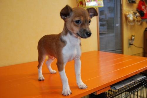 ミックスの子犬(ID:1241311275)の3枚目の写真/更新日:2017-12-04