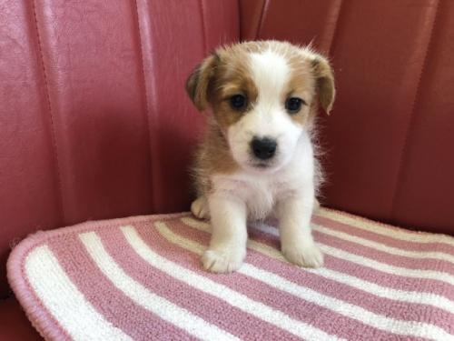 ジャックラッセルテリアの子犬(ID:1241311278)の1枚目の写真/更新日:2017-09-05