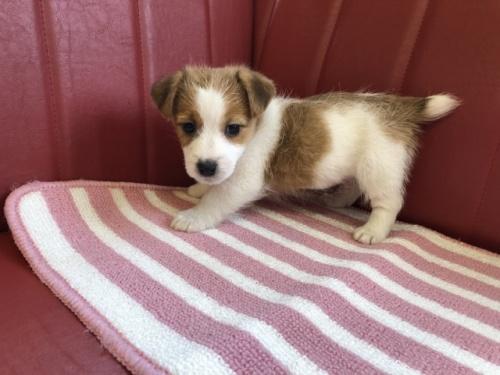ジャックラッセルテリアの子犬(ID:1241311278)の2枚目の写真/更新日:2019-04-21