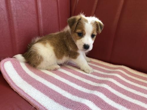 ジャックラッセルテリアの子犬(ID:1241311278)の3枚目の写真/更新日:2017-09-05