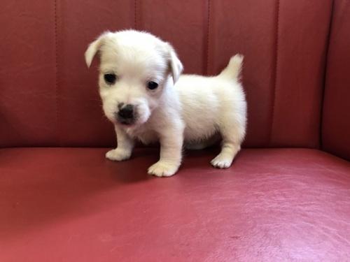 ジャックラッセルテリアの子犬(ID:1241311282)の1枚目の写真/更新日:2017-12-04