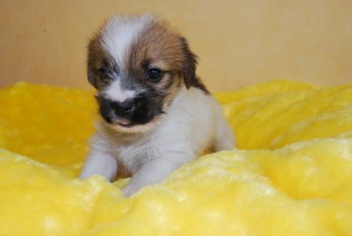 ジャックラッセルテリアの子犬(ID:1241311283)の1枚目の写真/更新日:2019-06-11