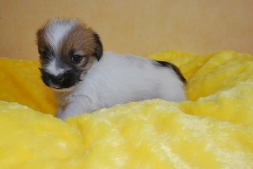 ジャックラッセルテリアの子犬(ID:1241311283)の2枚目の写真/更新日:2019-06-11
