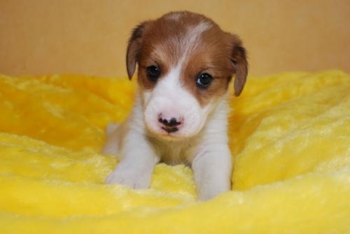ジャックラッセルテリアの子犬(ID:1241311284)の1枚目の写真/更新日:2019-06-11
