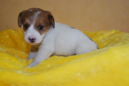 ジャックラッセルテリアの子犬(ID:1241311284)の3枚目の写真/更新日:2019-06-11