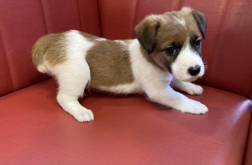 ジャックラッセルテリアの子犬(ID:1241311286)の2枚目の写真/更新日:2017-09-26