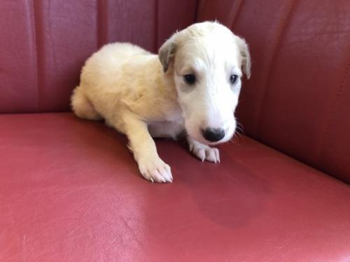 ボルゾイの子犬(ID:1241311290)の1枚目の写真/更新日:2017-10-30