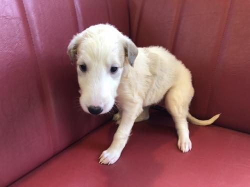 ボルゾイの子犬(ID:1241311290)の2枚目の写真/更新日:2017-10-30