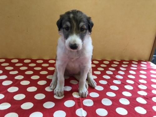 ボルゾイの子犬(ID:1241311291)の1枚目の写真/更新日:2017-12-14