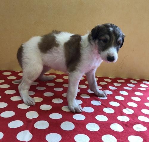 ボルゾイの子犬(ID:1241311291)の2枚目の写真/更新日:2017-12-14