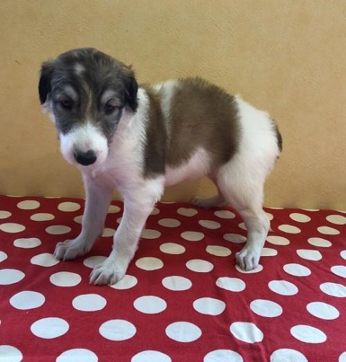 ボルゾイの子犬(ID:1241311291)の3枚目の写真/更新日:2017-12-14