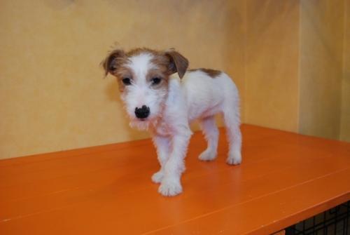 ジャックラッセルテリアの子犬(ID:1241311295)の1枚目の写真/更新日:2017-11-07