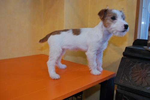 ジャックラッセルテリアの子犬(ID:1241311295)の2枚目の写真/更新日:2018-01-26