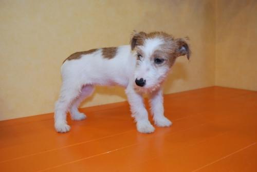 ジャックラッセルテリアの子犬(ID:1241311295)の3枚目の写真/更新日:2017-11-07
