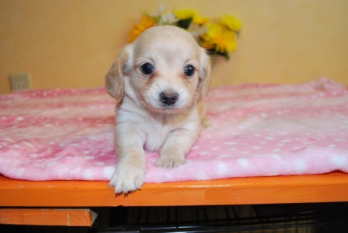 ミックスの子犬(ID:1241311296)の1枚目の写真/更新日:2017-11-11