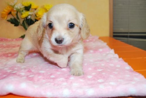 ミックスの子犬(ID:1241311296)の3枚目の写真/更新日:2017-11-11