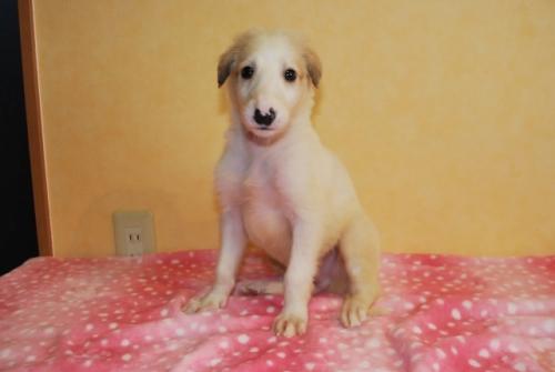 ボルゾイの子犬(ID:1241311297)の1枚目の写真/更新日:2017-12-04