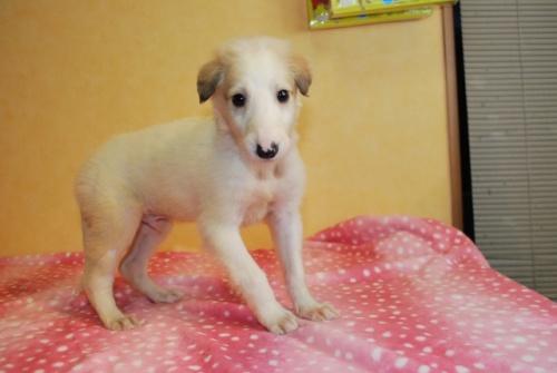 ボルゾイの子犬(ID:1241311297)の2枚目の写真/更新日:2017-12-04