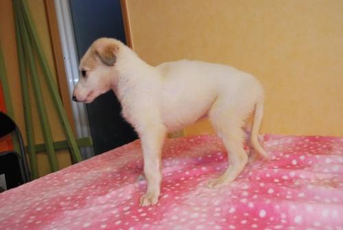 ボルゾイの子犬(ID:1241311297)の3枚目の写真/更新日:2017-12-04