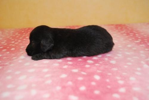 ミニチュアダックスフンド(ロング)の子犬(ID:1241311299)の3枚目の写真/更新日:2017-12-22