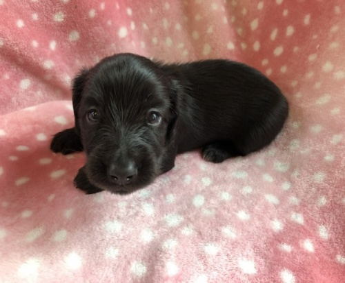 ミニチュアダックスフンド(ロング)の子犬(ID:1241311301)の1枚目の写真/更新日:2017-12-22