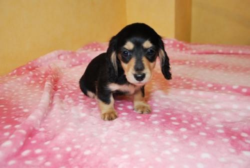 ミニチュアダックスフンド(ロング)の子犬(ID:1241311302)の3枚目の写真/更新日:2018-01-15