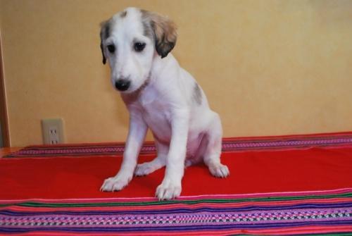 ミックスの子犬(ID:1241311306)の1枚目の写真/更新日:2018-01-09