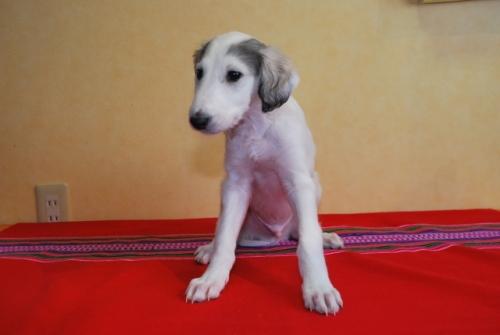 ミックスの子犬(ID:1241311308)の1枚目の写真/更新日:2018-01-09